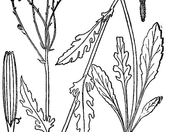 Balsam Groundsel (Packera Paupercula) https://www.sagebud.com/balsam-groundsel-packera-paupercula
