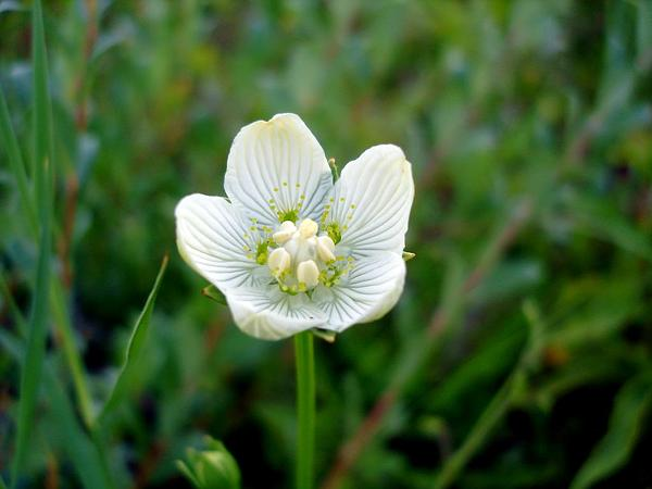 Marsh Grass Of Parnassus (Parnassia Palustris) https://www.sagebud.com/marsh-grass-of-parnassus-parnassia-palustris/