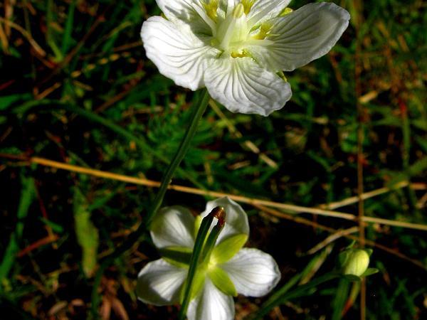 Marsh Grass Of Parnassus (Parnassia Palustris) https://www.sagebud.com/marsh-grass-of-parnassus-parnassia-palustris