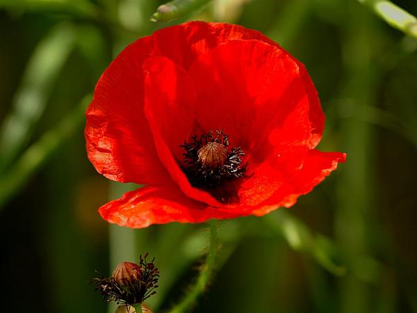 Poppy (Papaver) https://www.sagebud.com/poppy-papaver
