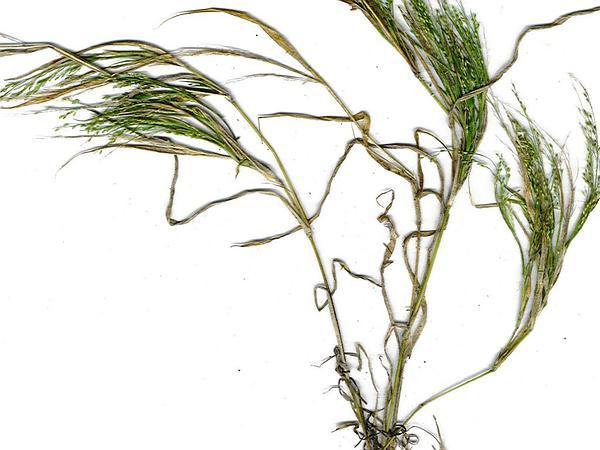 Maui Panicgrass (Panicum Pellitum) https://www.sagebud.com/maui-panicgrass-panicum-pellitum