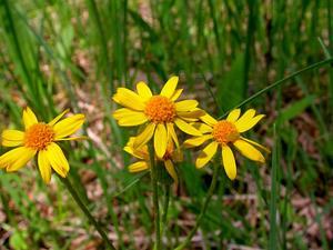 Prairie Groundsel