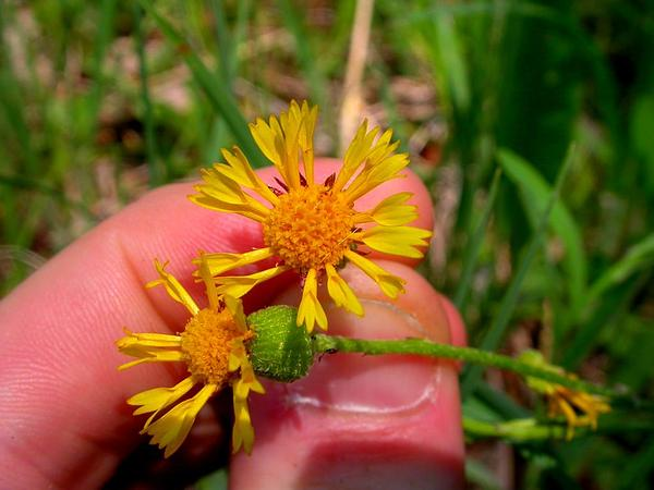 Prairie Groundsel (Packera Plattensis) https://www.sagebud.com/prairie-groundsel-packera-plattensis