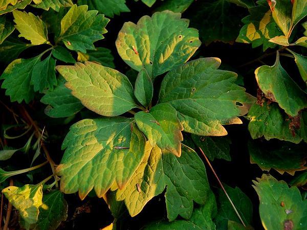 Allegheny-Spurge (Pachysandra Procumbens) https://www.sagebud.com/allegheny-spurge-pachysandra-procumbens