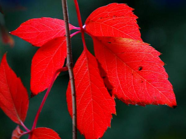 Virginia Creeper (Parthenocissus Quinquefolia) https://www.sagebud.com/virginia-creeper-parthenocissus-quinquefolia