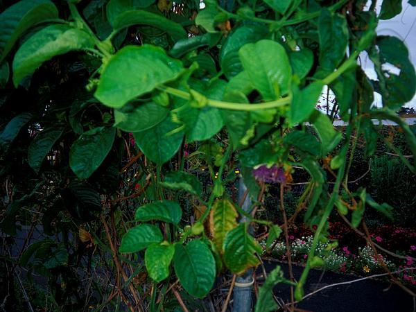 Giant Granadilla (Passiflora Quadrangularis) https://www.sagebud.com/giant-granadilla-passiflora-quadrangularis/