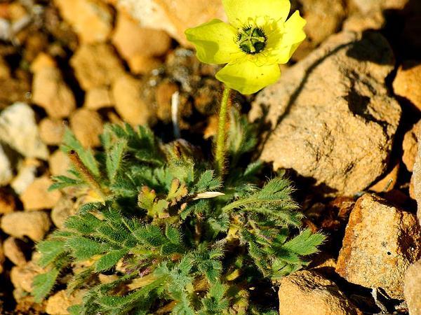 Rooted Poppy (Papaver Radicatum) https://www.sagebud.com/rooted-poppy-papaver-radicatum