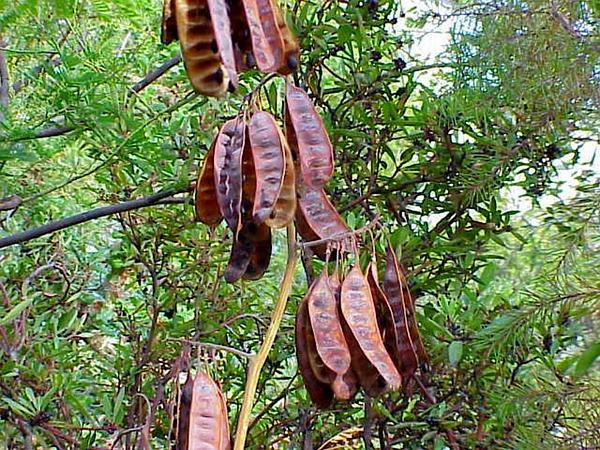Paraserianthes (Paraserianthes) https://www.sagebud.com/paraserianthes-paraserianthes