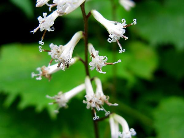 Indian Plantain (Parasenecio) https://www.sagebud.com/indian-plantain-parasenecio