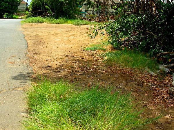 Torpedo Grass (Panicum Repens) https://www.sagebud.com/torpedo-grass-panicum-repens