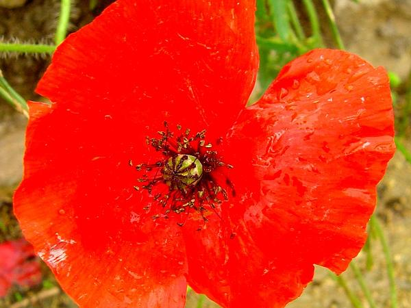 Corn Poppy (Papaver Rhoeas) https://www.sagebud.com/corn-poppy-papaver-rhoeas