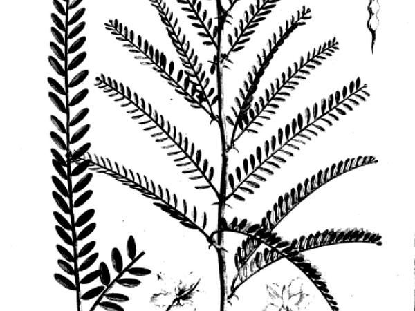 Paloverde (Parkinsonia) https://www.sagebud.com/paloverde-parkinsonia/