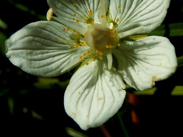 Grass Of Parnassus (Parnassia) https://www.sagebud.com/grass-of-parnassus-parnassia