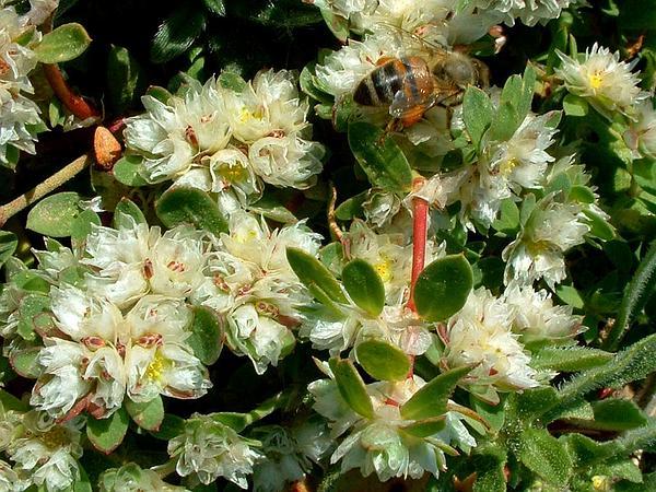 Nailwort (Paronychia) https://www.sagebud.com/nailwort-paronychia