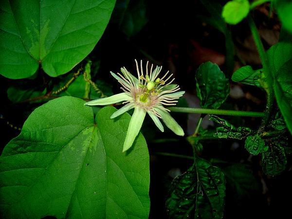 Dutchman's Laudanum (Passiflora Rubra) https://www.sagebud.com/dutchmans-laudanum-passiflora-rubra