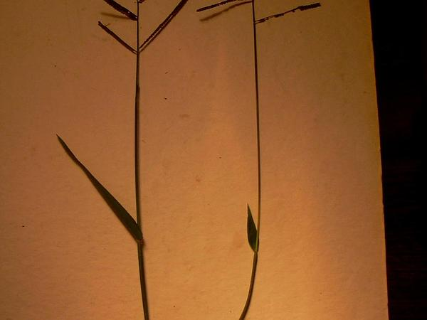 Kodomillet (Paspalum Scrobiculatum) https://www.sagebud.com/kodomillet-paspalum-scrobiculatum