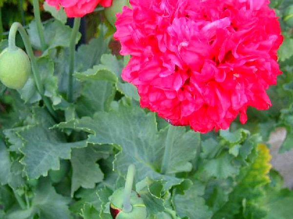 Opium Poppy (Papaver Somniferum) https://www.sagebud.com/opium-poppy-papaver-somniferum/