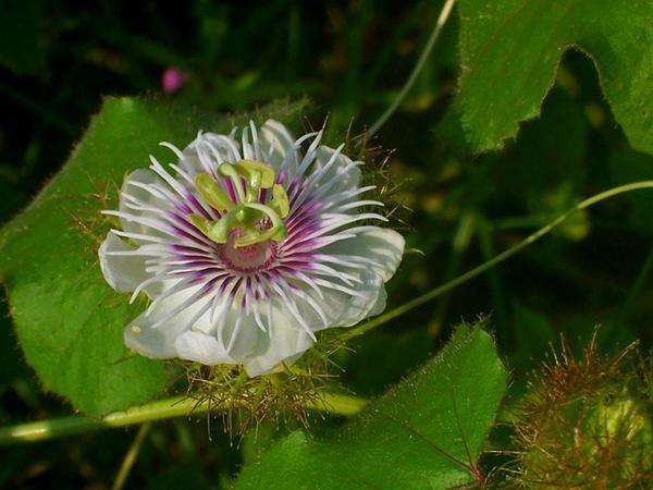 Passionflower (Passiflora) https://www.sagebud.com/passionflower-passiflora