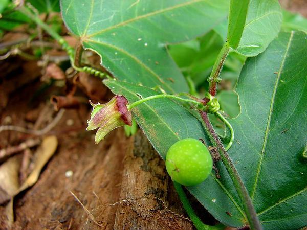 Corkystem Passionflower (Passiflora Suberosa) https://www.sagebud.com/corkystem-passionflower-passiflora-suberosa