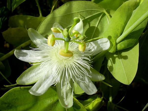 White Passionflower (Passiflora Subpeltata) https://www.sagebud.com/white-passionflower-passiflora-subpeltata