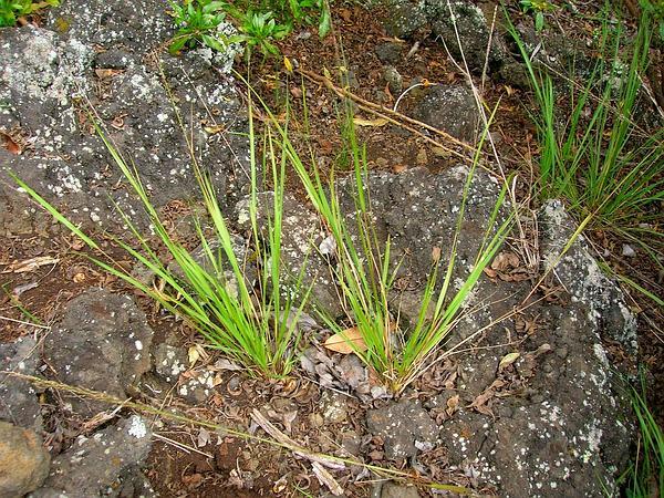 Parkland Panicgrass (Panicum Tenuifolium) https://www.sagebud.com/parkland-panicgrass-panicum-tenuifolium