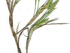 Torrid Panicgrass