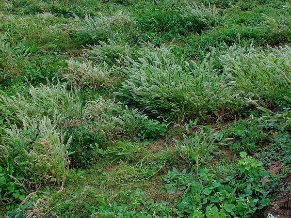 Torrid Panicgrass (Panicum Torridum) https://www.sagebud.com/torrid-panicgrass-panicum-torridum