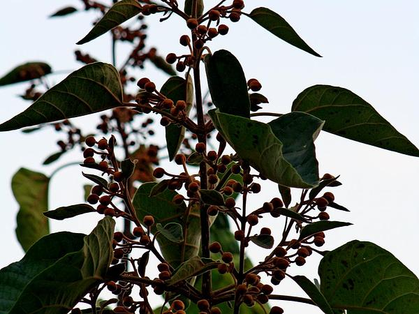Princesstree (Paulownia Tomentosa) https://www.sagebud.com/princesstree-paulownia-tomentosa/