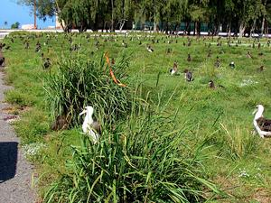 Vasey's Grass