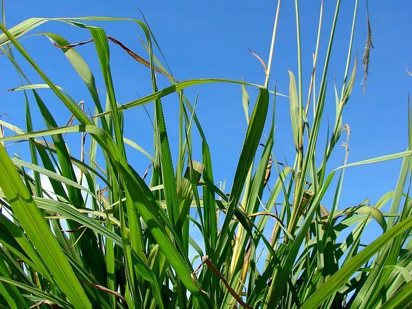 Vasey's Grass (Paspalum Urvillei) https://www.sagebud.com/vaseys-grass-paspalum-urvillei