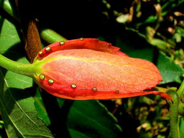 Perfumed Passionflower (Passiflora Vitifolia) https://www.sagebud.com/perfumed-passionflower-passiflora-vitifolia/