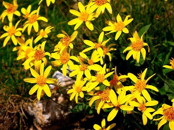 Hoary Groundsel (Packera Werneriifolia) https://www.sagebud.com/hoary-groundsel-packera-werneriifolia