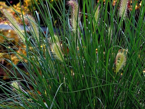 Chinese Fountaingrass (Pennisetum Alopecuroides) https://www.sagebud.com/chinese-fountaingrass-pennisetum-alopecuroides