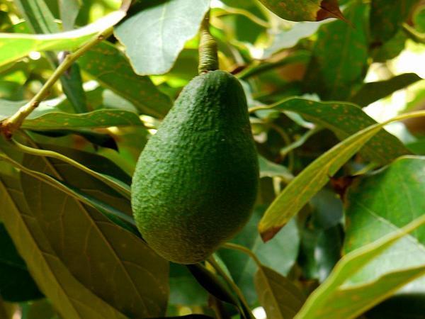 Avocado (Persea Americana) https://www.sagebud.com/avocado-persea-americana