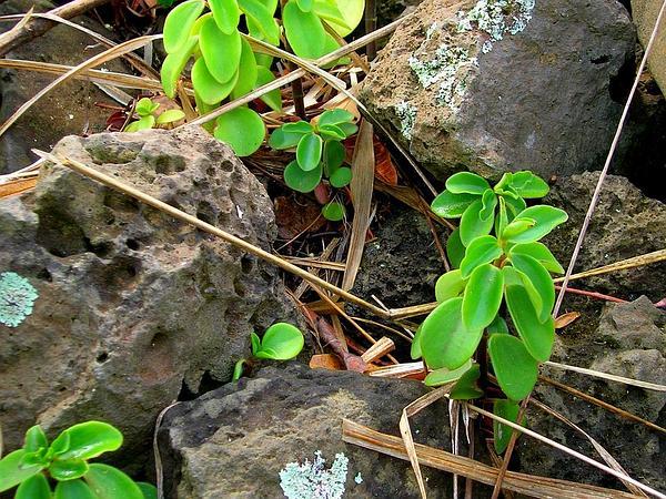 Arid-Land Peperomia (Peperomia Blanda) https://www.sagebud.com/arid-land-peperomia-peperomia-blanda