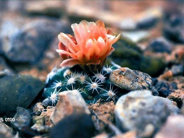 Brady's Pincushion Cactus (Pediocactus Bradyi) https://www.sagebud.com/bradys-pincushion-cactus-pediocactus-bradyi