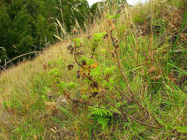 Rose Scented Geranium (Pelargonium Capitatum) https://www.sagebud.com/rose-scented-geranium-pelargonium-capitatum