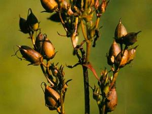 Longsepal Beardtongue