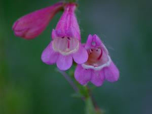 Sunset Crater Beardtongue