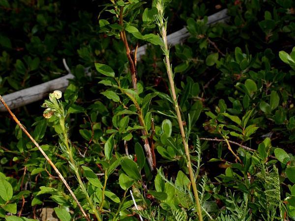 Coiled Lousewort (Pedicularis Contorta) https://www.sagebud.com/coiled-lousewort-pedicularis-contorta/