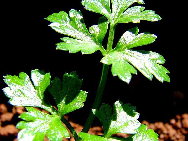 Parsley (Petroselinum Crispum) https://www.sagebud.com/parsley-petroselinum-crispum