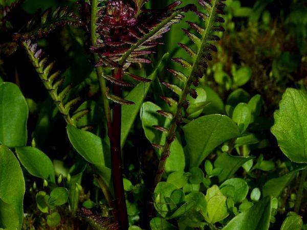 Lousewort (Pedicularis) https://www.sagebud.com/lousewort-pedicularis