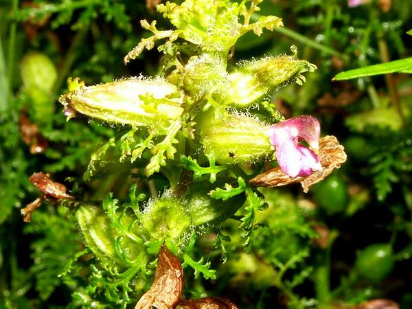 Lousewort (Pedicularis) https://www.sagebud.com/lousewort-pedicularis
