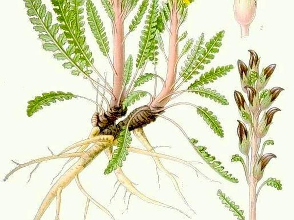 Redrattle (Pedicularis Flammea) https://www.sagebud.com/redrattle-pedicularis-flammea