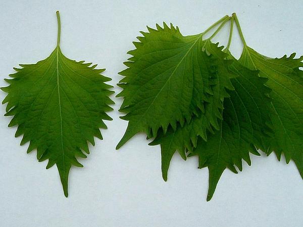 Beefsteakplant (Perilla Frutescens) https://www.sagebud.com/beefsteakplant-perilla-frutescens
