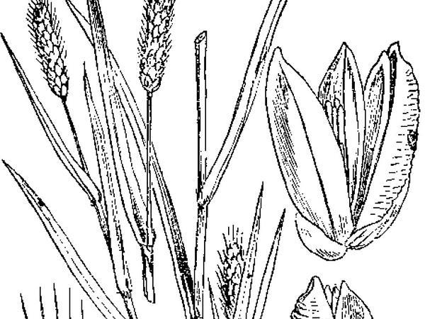 Pearl Millet (Pennisetum Glaucum) https://www.sagebud.com/pearl-millet-pennisetum-glaucum