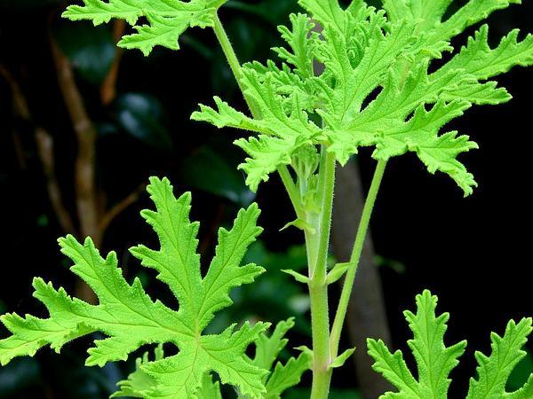 Sweet Scented Geranium (Pelargonium Graveolens) https://www.sagebud.com/sweet-scented-geranium-pelargonium-graveolens
