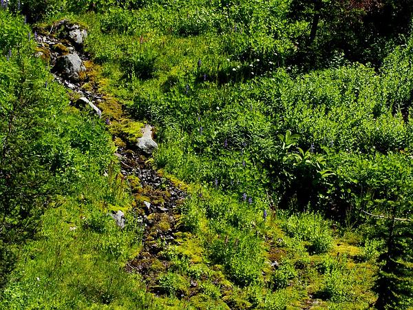 Elephanthead Lousewort (Pedicularis Groenlandica) https://www.sagebud.com/elephanthead-lousewort-pedicularis-groenlandica