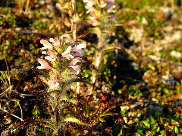 Hairy Lousewort (Pedicularis Hirsuta) https://www.sagebud.com/hairy-lousewort-pedicularis-hirsuta/