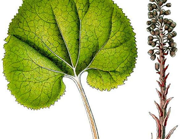 Pestilence Wort (Petasites Hybridus) https://www.sagebud.com/pestilence-wort-petasites-hybridus